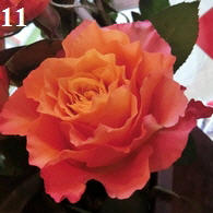 FT-Rose-lachs-195